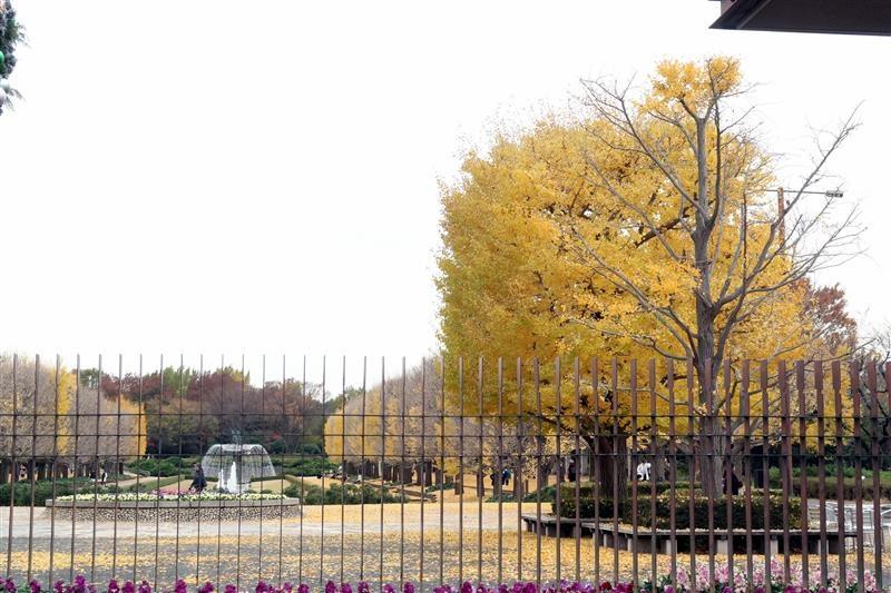 日本銀杏 國營昭和記念公園 005.jpg