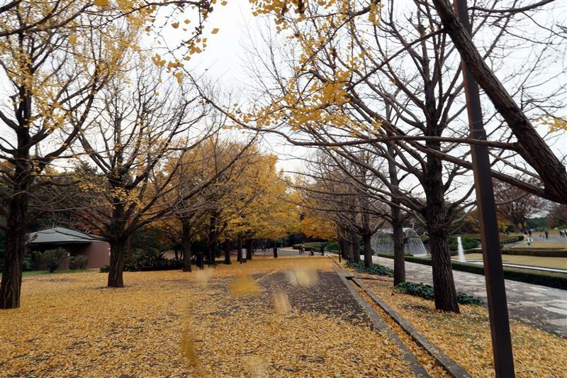 日本銀杏 國營昭和記念公園 010.jpg