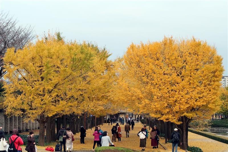 日本銀杏 國營昭和記念公園 020.jpg