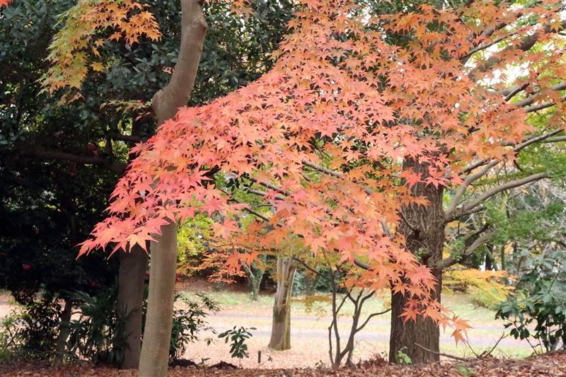 日本銀杏 國營昭和記念公園 022.jpg