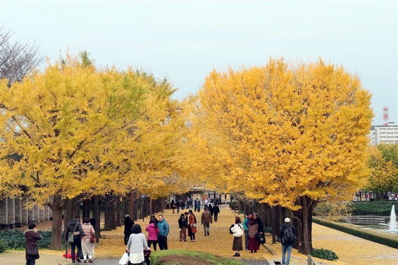日本銀杏 國營昭和記念公園 019.jpg