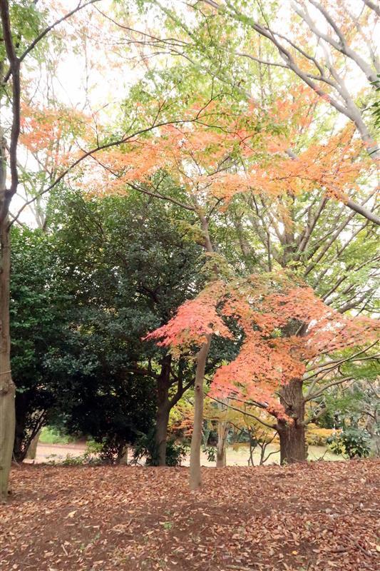 日本銀杏 國營昭和記念公園 024.jpg