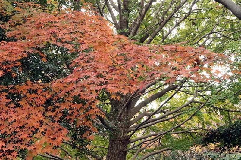 日本銀杏 國營昭和記念公園 023.jpg