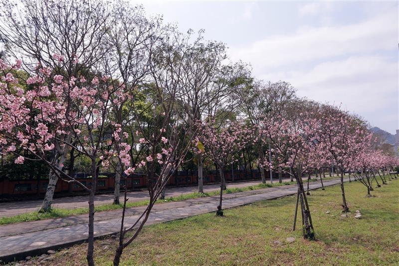 三峽 台北大學 櫻花 019.jpg