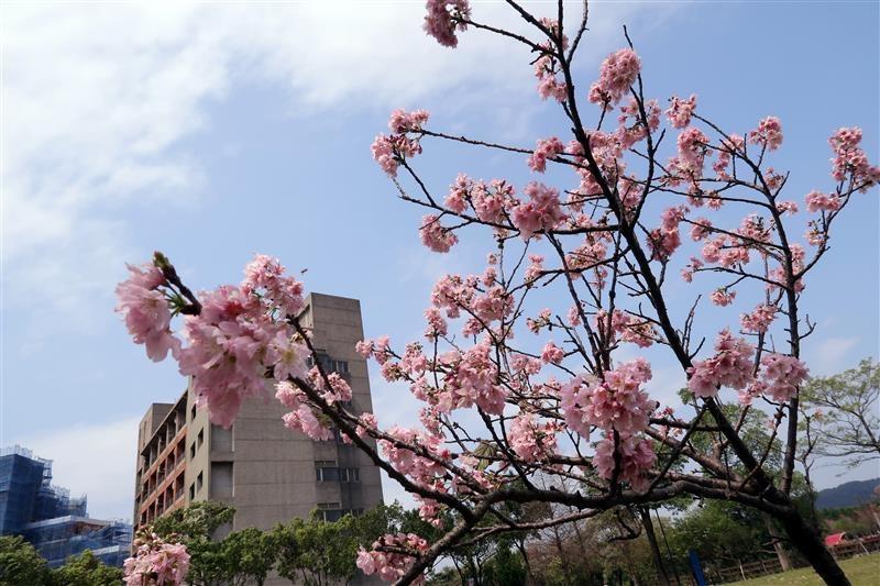 三峽 台北大學 櫻花 022.jpg