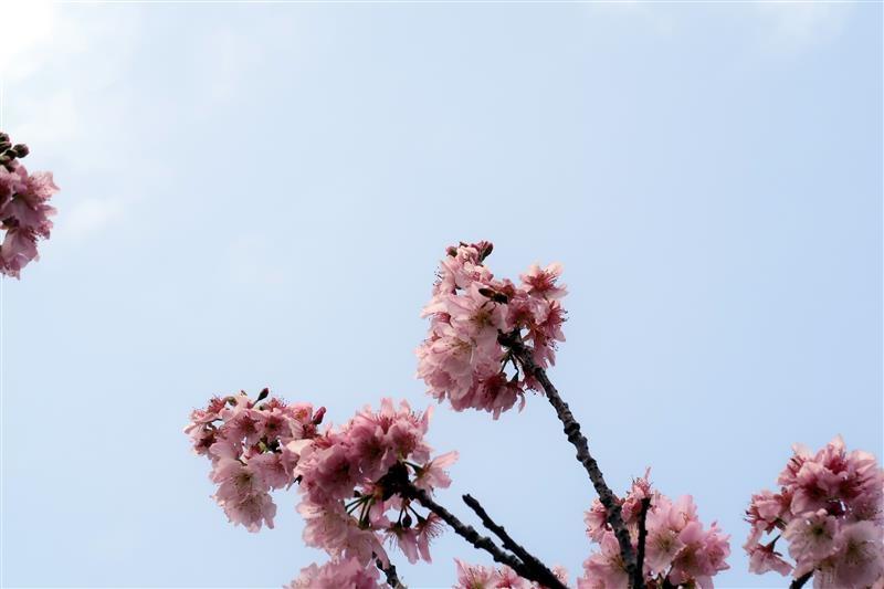 三峽 台北大學 櫻花 030.jpg