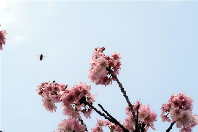三峽 台北大學 櫻花 031.jpg