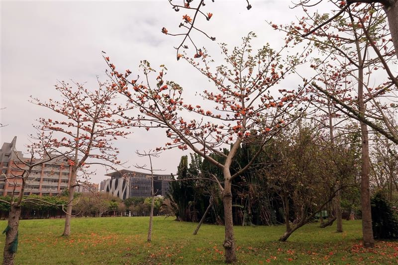 三峽 台北大學 櫻花 048.jpg