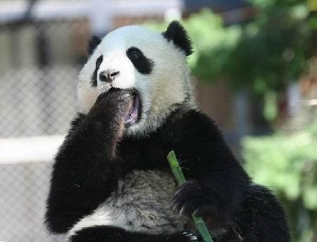 打呵欠的熊貓
