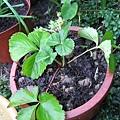從大湖帶回來的小草莓,已經開枝散葉的變成一小片草莓園