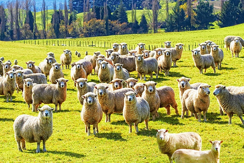 紐西蘭綿羊景緻.jpg