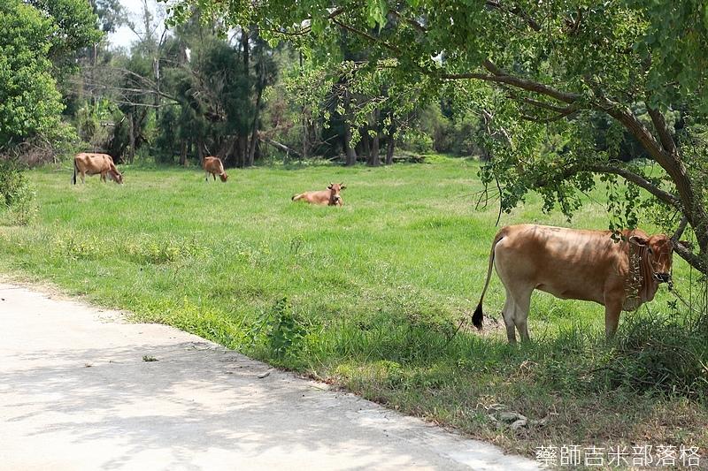 隨處都可以看到放養的牛