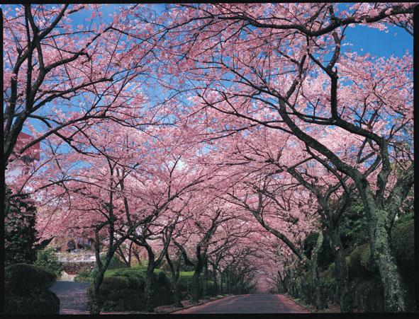 伊豆高原桜並木(トンネル) (1)