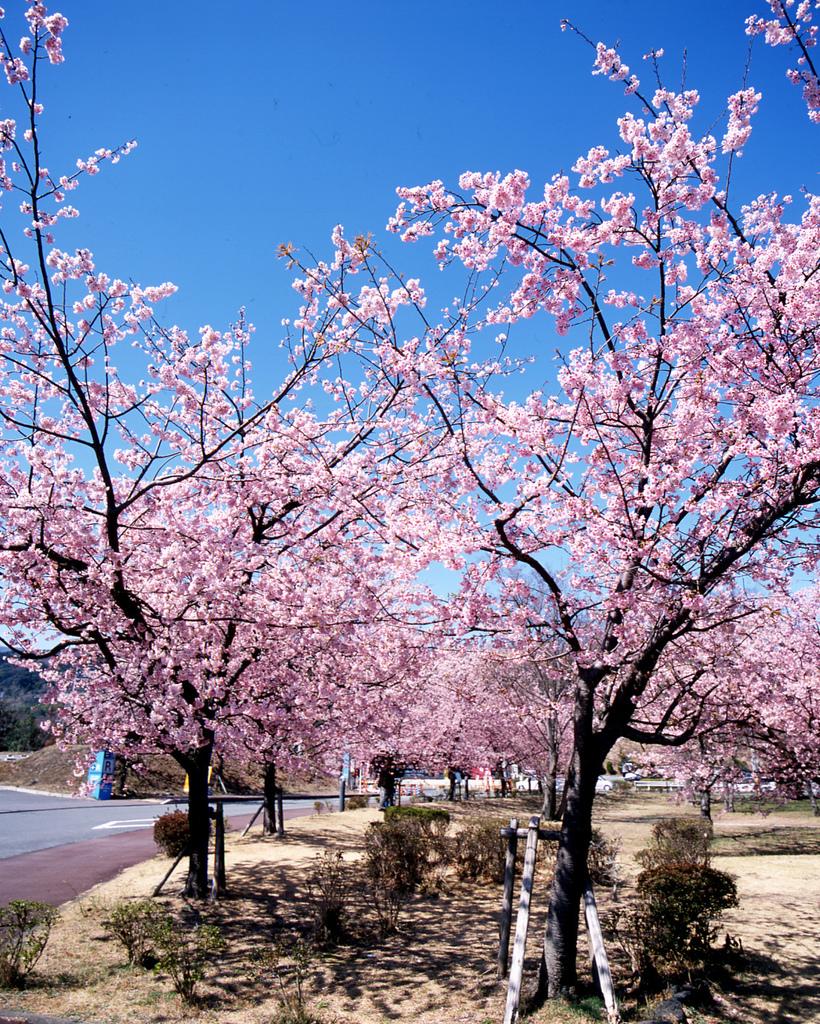 おおかん桜