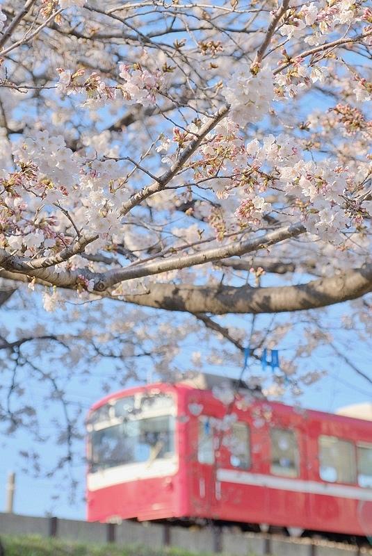 電車櫻花3.jpg