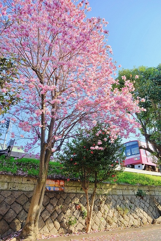 電車櫻花4.jpg