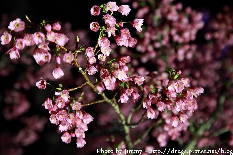 嘉義 阿里山櫻花季 晚上看櫻花 夜櫻