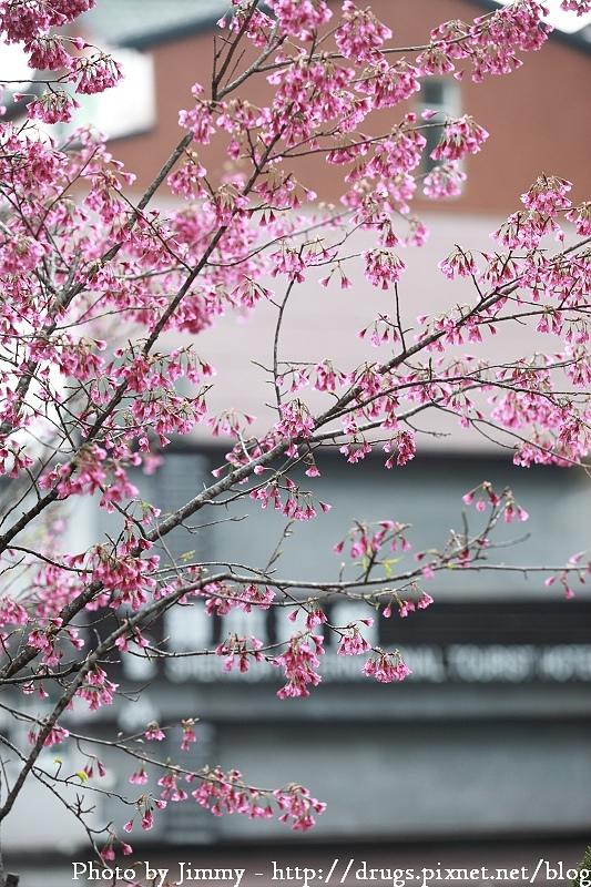 阿里山神木賓館 阿里山櫻花季 阿里山住宿 阿里山賓館