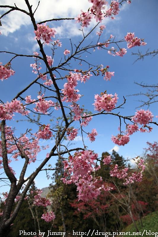 2010 阿里山 櫻花