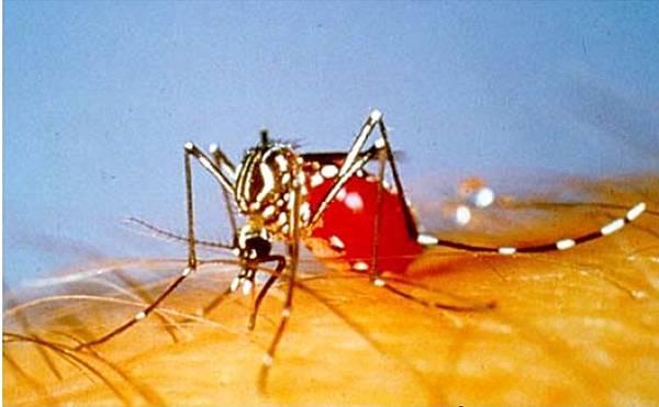 蚊子吸血.jpg