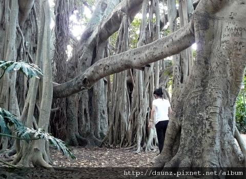 這些樹鬚垂到地上都變成一群群的樹了
