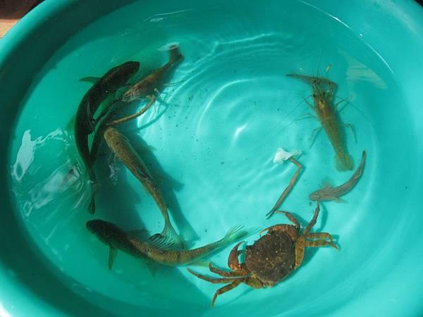 放蝦籠收穫.JPG