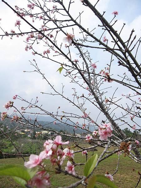 馬石公園賞河津櫻 (13).JPG