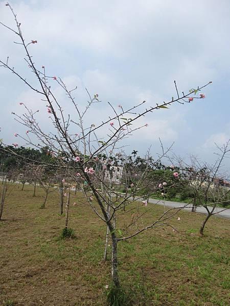 馬石公園賞河津櫻 (19).JPG