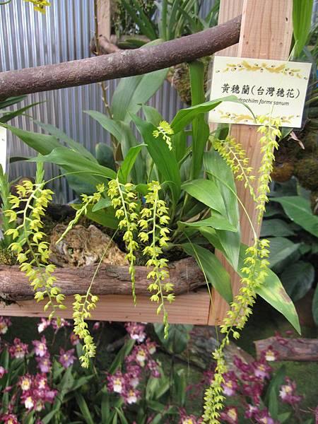 黃穗蘭(台灣穗花).JPG