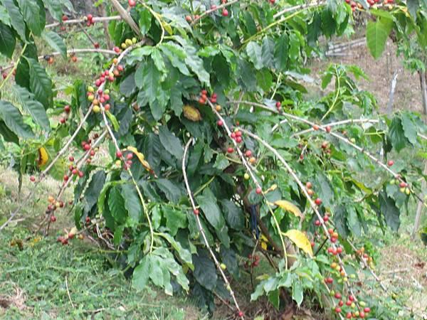 咖啡樹.JPG
