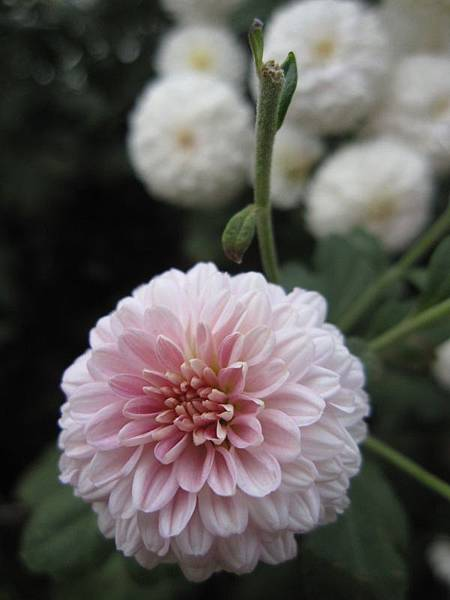 2013.11.24銅鑼杭菊節 (19).JPG