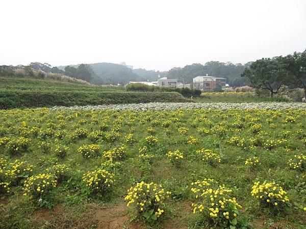 2013.11.24銅鑼杭菊節 (2).JPG