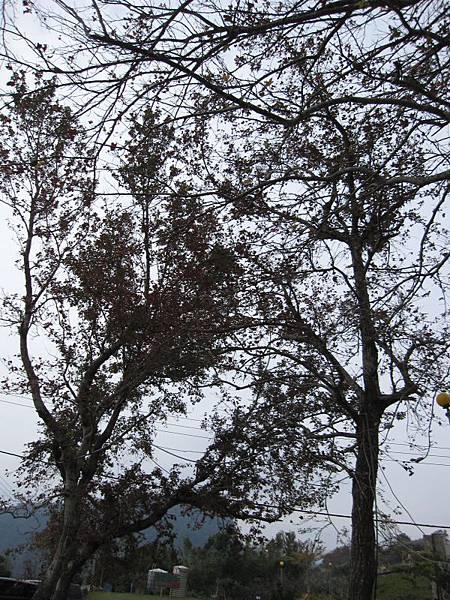 楓樹.JPG