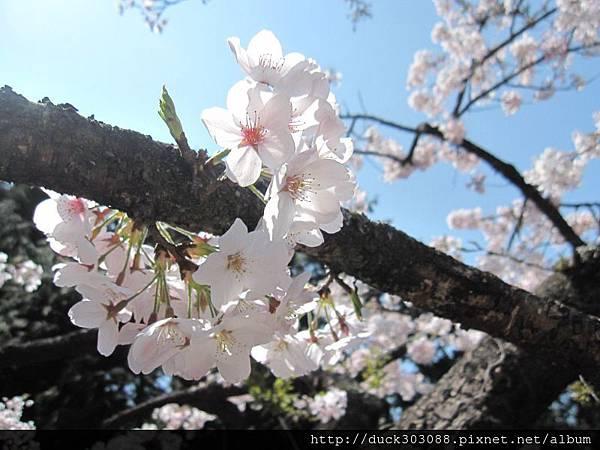 阿里山櫻花季2014 (10).jpg