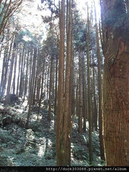 阿里山櫻花季2014 (86).JPG