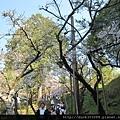 阿里山櫻花季2014 (198).JPG