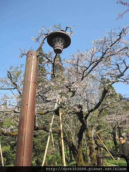 阿里山櫻花季2014 (208).JPG