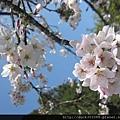 阿里山櫻花季2014 (229).jpg
