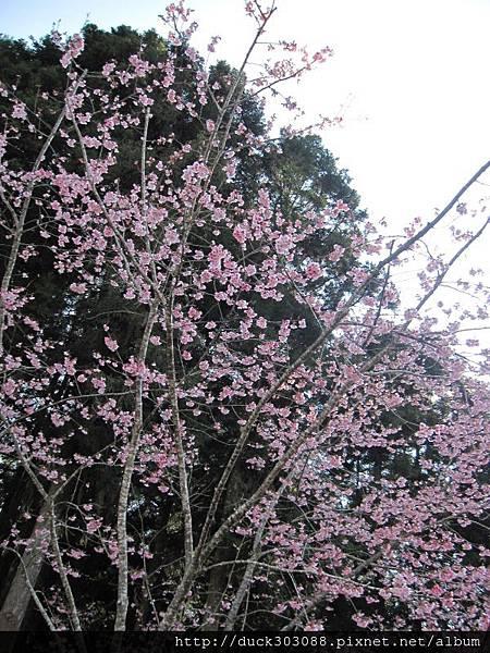 阿里山櫻花季2014 (242).JPG