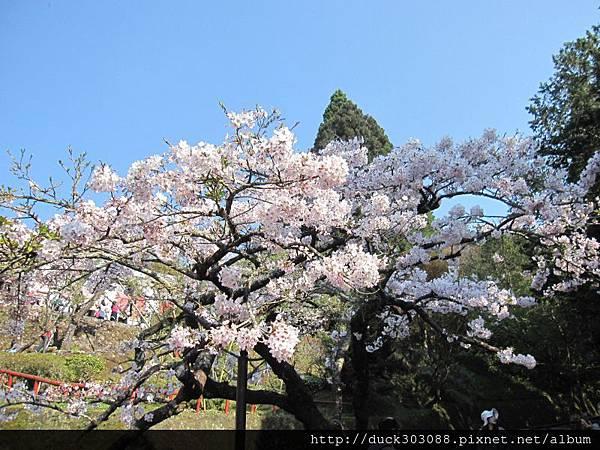 阿里山櫻花季2014 (246).JPG