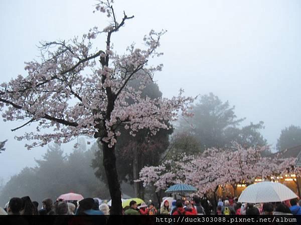 阿里山櫻花季2014 (316).JPG