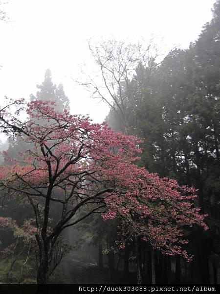 阿里山櫻花季2014 (333).JPG