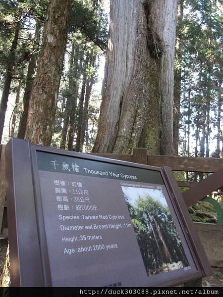 阿里山櫻花季2014 (148).JPG
