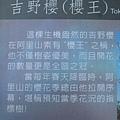 阿里山櫻花季2014 (231).JPG