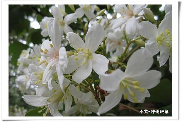 油桐花 (4).jpg