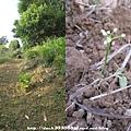 種蕎頭2.jpg