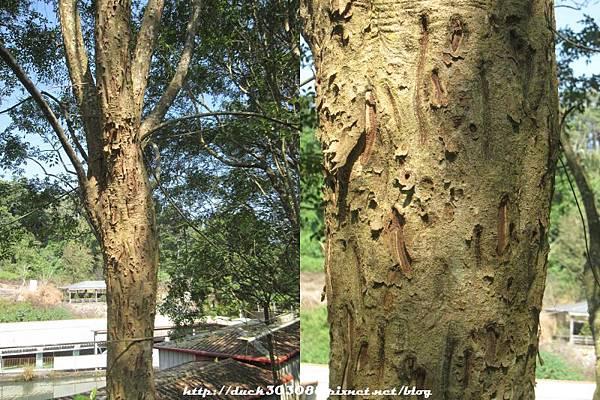 鍬形蟲啃樹皮.jpg