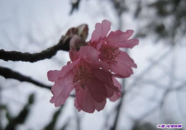 山櫻花.jpg