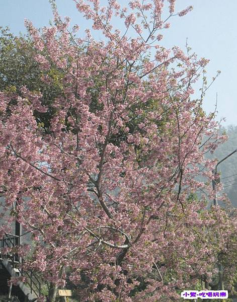 路旁櫻花.jpg