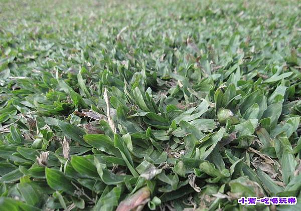 地毯草.jpg